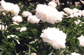 photo of Herbaceous Peony Garden