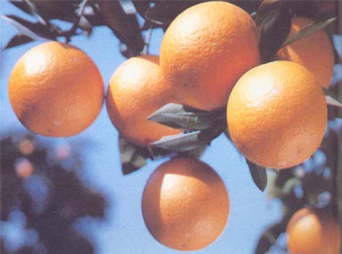 photo of Jiangjin Orange